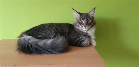 Bera's coon Maine Coon Cattery - Home   Facebook