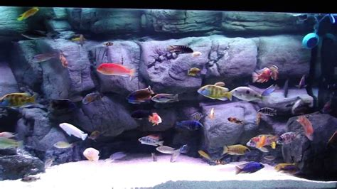 African Cichlid Malawi Peacock & Hap Show Tank - Wide View